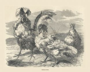 Fowls, Frizzled; by Harrison Weir